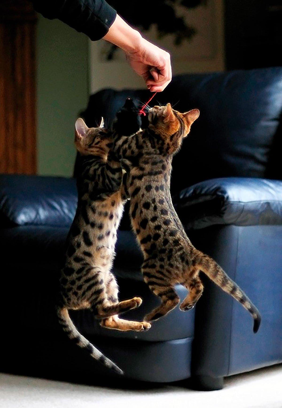 кошка саванна здоровье